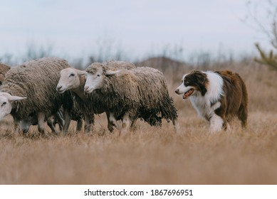 Dog is herding sheep in the village