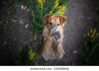 Dog hides his face with paws while waving. Dog give paws.