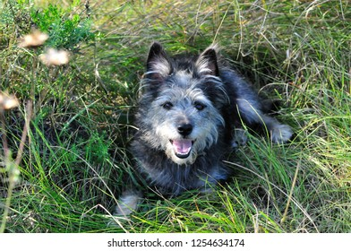 The dog hides in the shade from the sun on a hot summer day. Mongrel dog, mongrel dog similar to the breed Cairn Terrier or a Australian terrier.