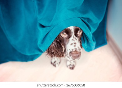 The dog is hiding behind the curtains and is afraid to go out. The concept of dogs anxiety about thunderstorm, fireworks and noises. Pets mental health, excessive emotionality, feelings of insecurity.