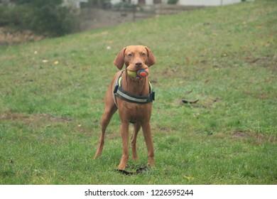 A Dog and His Balls - Vizsla dog