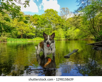 Dog with his stick in a pond.