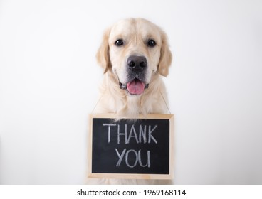 The dog is holding a black sign with the words thank you. Golden Retriever sits on a white background and looks into the camera with an advertising banner.
