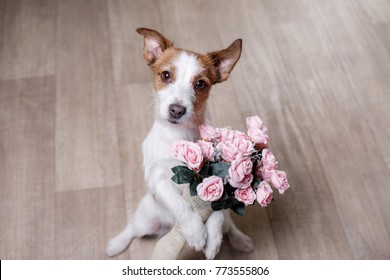 the dog is holding flowers in the paws. St. Valentine's Day. Lovely jack russell terrier gives a gift