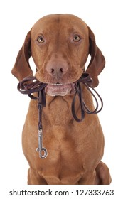 dog holding leash in mouth on white background