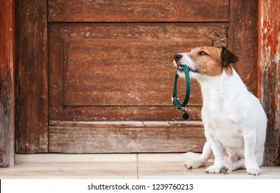 Dog holding in mouth doggy collar with tag sitting in front of shabby wooden door wants to go for walk