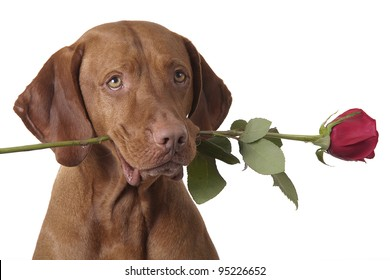 dog holding a red rose in mouth