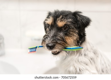 Dog holding toothbrush in bathroom - jack russell terrier