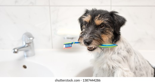 Dog holding toothbrush in bathroom. Young Jack Russell Terrier. Ready to brush the teeth to avoid the need for a dentist.