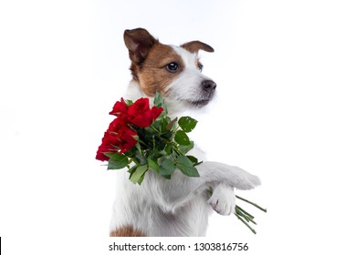 The dog holds a bouquet of flowers in its paws. on Valentine's Day. Festive pet. Jack Russell Terrier on a white background