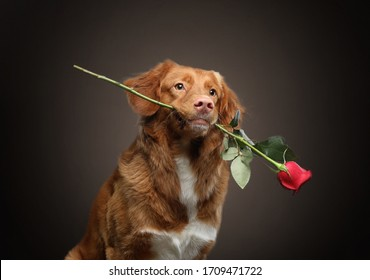 The dog holds a rose in his teeth. Nova Scotia Duck Tolling Retriever, Pink nose