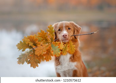 the dog holds the sheet. Autumn mood. Nova Scotia duck tolling Retriever.