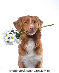 the dog holds the teeth flowers. Nova Scotia duck tolling Retriever on a white background. Funny pet, toller