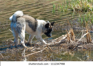 Dog home American Akita-Vita. Akita Inu is a dominant dog, with a real complex personality, challenging to raise if you do not have experience.