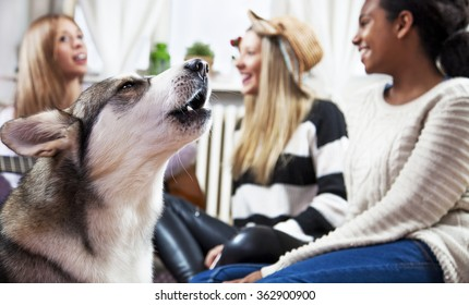 Dog at home, with his friends. Multi ethnic young girls playing with Siberian Husky, in a living room