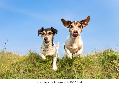 dog hopping over a green hill in a meadow Jack Russell 8 and 10 years old - hair style: broken and smooth - two little cute hunting dogs running and jumping joyfully over an obstacle in a meadow
