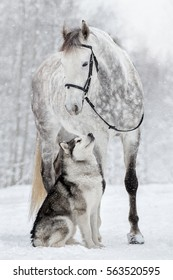 The dog and the horse. Alaskan Malamute and Orlov Trotter.