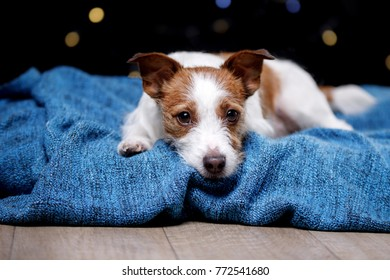 Dog in the house on the rug. Little Pet Jack Russel Terrier
