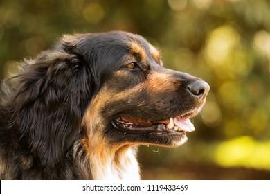 Dog Hovawart, close up