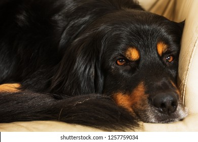 dog hovawart is lying on the couch, portrait very close up