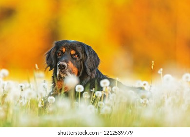 Dog hovawart on the meadow in the spring with color background sun set