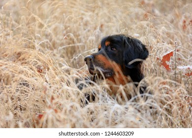 dog hovawart is restinf in the frozen grass