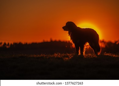 dog hovawart stands against sunset, with strong backlight