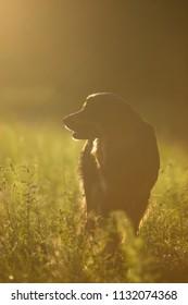 Dog Hovawart sun set strong beck lihgt