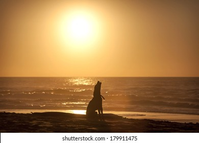 Dog howl on beach at sunset
