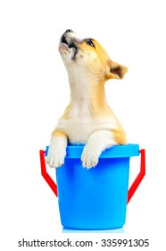 A dog howls in a blue bucket Isolated on a white background