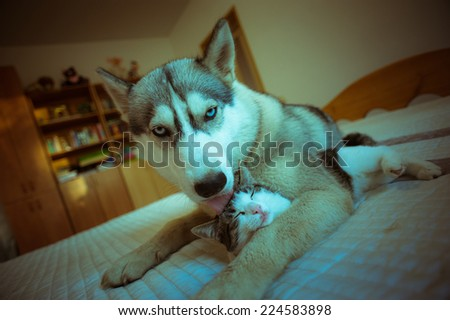 The dog hugs a cat. Cute blue-eyed husky puppy and little pussy lie together in the bedroom on the bed.
