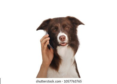Dog with human hands is talking on phone isolated