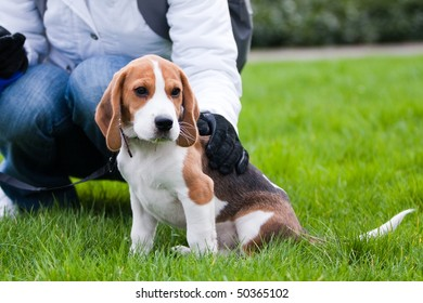 Dog and human on green meadow. Beagle puppy