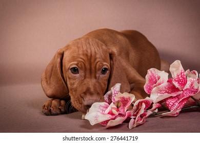 Dog Hungarian Vizsla pointer, puppy, Brown dog