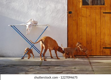 Dog of hungarian vyzhla playing with puppies in yard