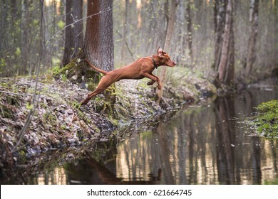 Dog hunter in a jump, over the river