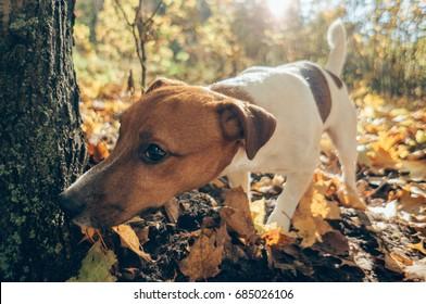 Dog hunting outdoors. Autumn season