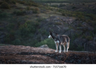 a dog of the Husky breed on the background of a canyon, rocks and nature