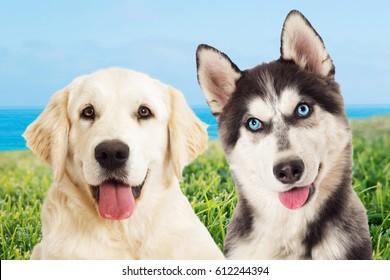 Dog husky and golden retriever dog on a background of green grass