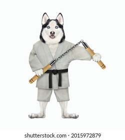 A dog husky karate athlete in a kimono with nunchucks is exercising. White background. Isolated.