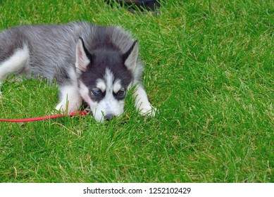 Dog: Husky puppy with one blue eye and one brown eye.