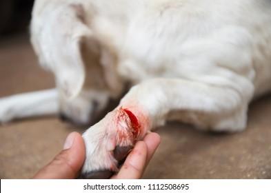 dog injured Wound on paw
