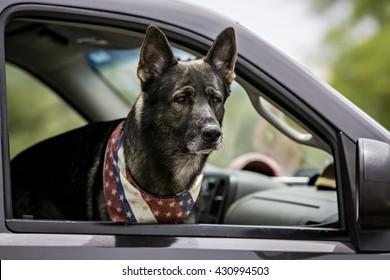 Dog inside a car wearing patriotic bandana