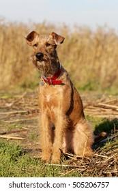 Dog the Irish terrier on walk