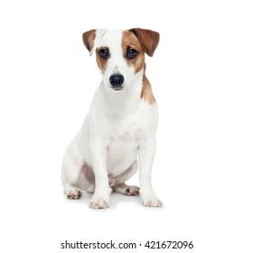 Dog isolated on white background