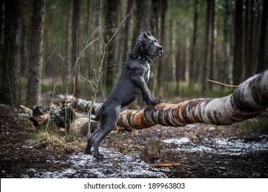 dog. Italian Cane Corso. forest