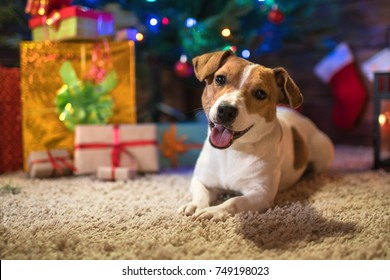dog jack russel under a Christmas tree with gifts and candles celebrating Christmas