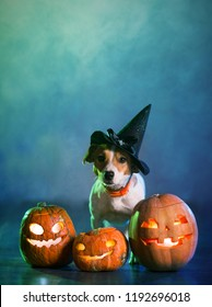 Dog Jack Russell in costume for Halloween