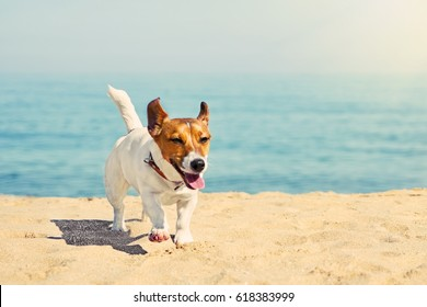Dog Jack Russell runs along the sandy beach against the blue sea and the horizon. The bright day sun shines. Background ideal for any design