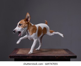 A dog, Jack Russell Terrier, barks, back left and front right legs are up. Background - grey clouds.